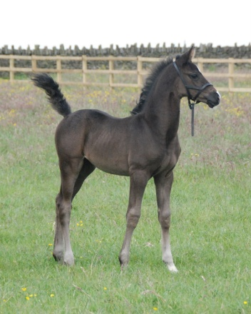 Gorgeous filly by Special D out of Voice mare