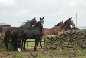 Two of the 3 year old mares both by Voice - looking like they're ready for backing:-)