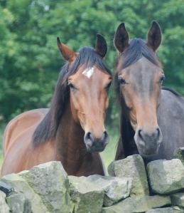 3 year old Gorgeous (left) by Florencio and 2 year old Hector (right) by Furst Kiss - as you can see Hector is rather large!
