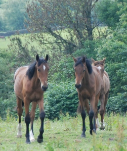 The yearlings coming for a nosey at who is in their field - both with white markings by Rousseau - bay by Florencio.
